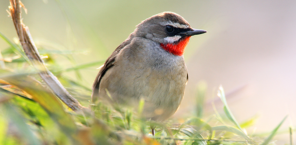 Rubythroat-610x300