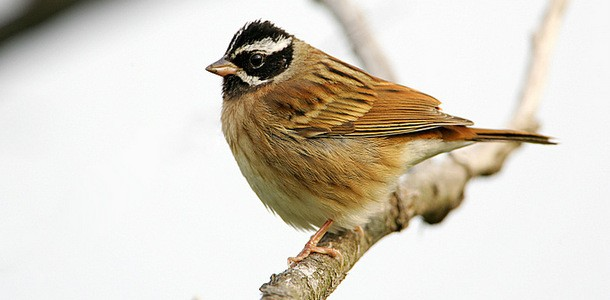 Emberiza-tristrami-005