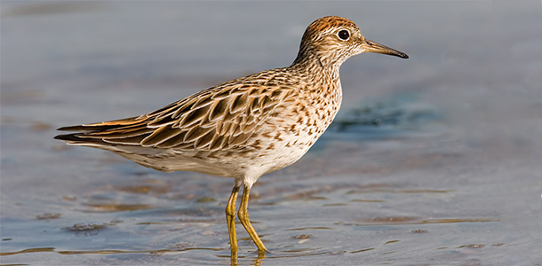 Sharp-tailed-Sandpiper-610x300