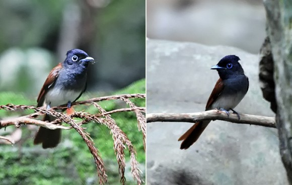 Japanese-Paradise-Flycatcher-f_MP
