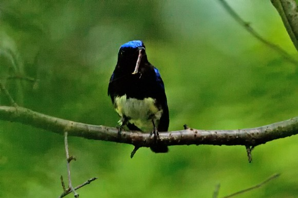 Blue-and-white-Flycatcher_TE