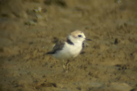 White-faced-Plover_NM