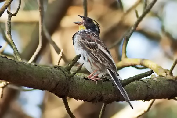 Yellow-throated-Bunting_TE