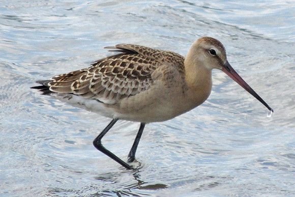 Black-tailed-Godwit_AK-1
