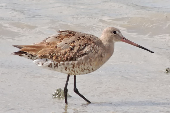 Black-tailed-Godwit_AK-2