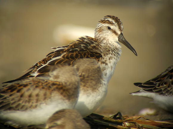 Broad-billed-Sandpiper_NM