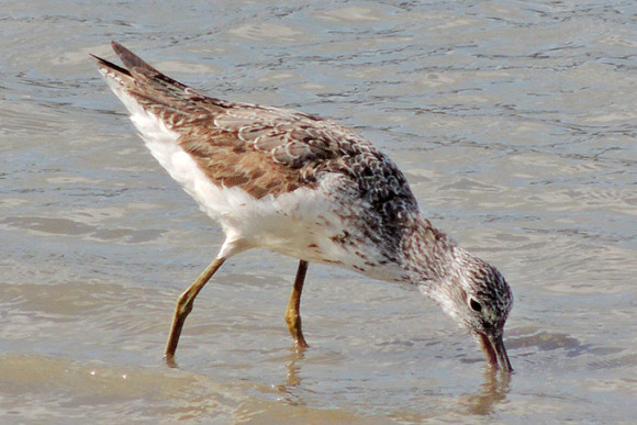 Common-Greenshank_AK