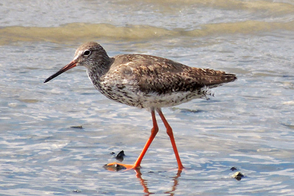 Common-Redshank_AK-1