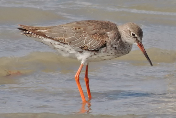 Common-Redshank_AK-2