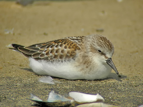 Red-necked-Stint_NM-1