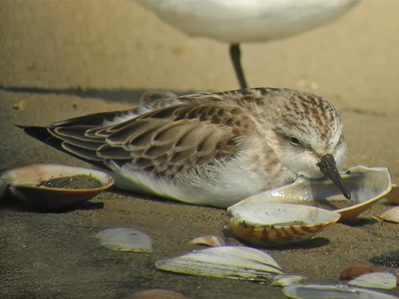 Red-necked-Stint_NM-2