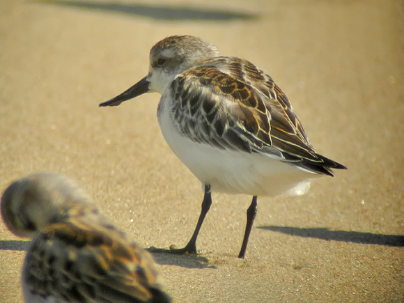 Spoon-billed-Sandpiper_NM-1