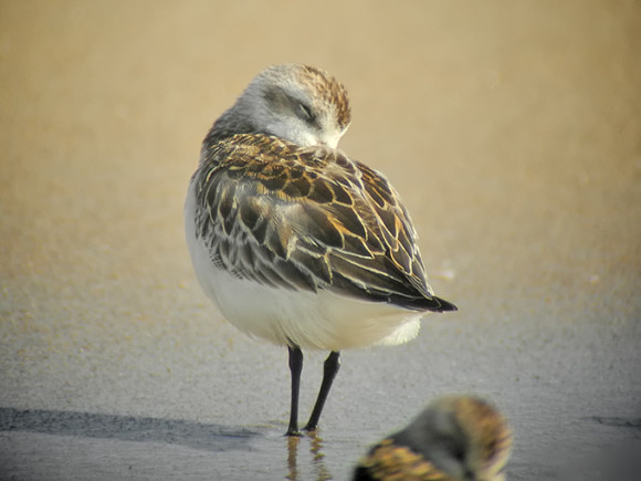 Spoon-billed-Sandpiper_NM-2