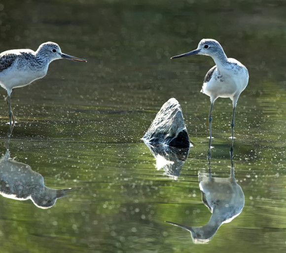 Common-Greenshank_RN-2