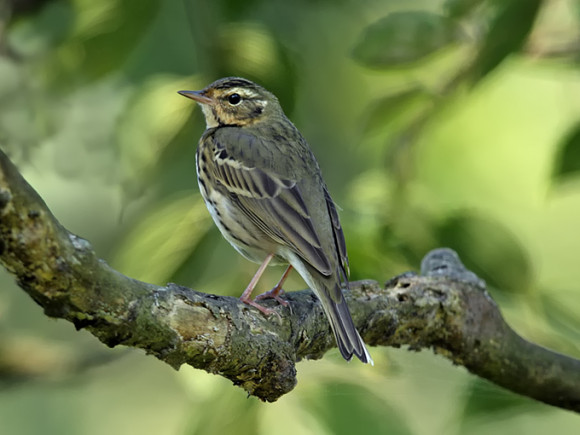 Olive-backed-Pipit_RN