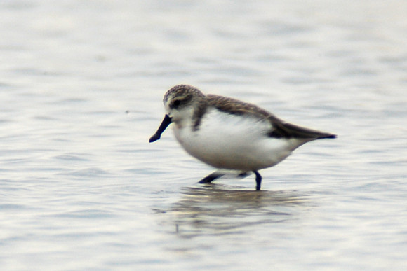 Rudong-Spoon-billed-Sandpiper_NM