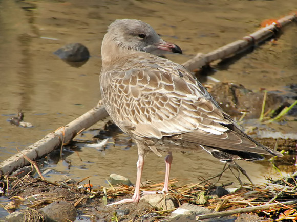 Common-Gull_NM
