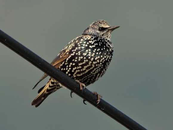Common-Starling_RN