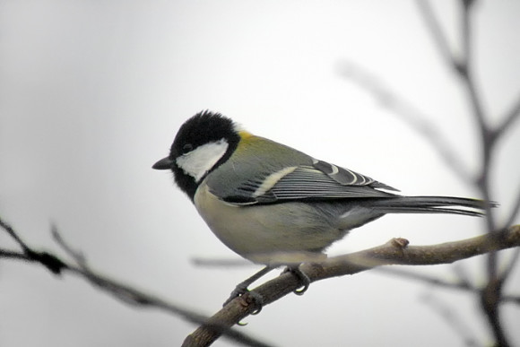 Eastern-Great-Tit_NM-1