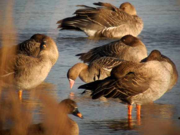 Greater-White-fronted-Goose_NM