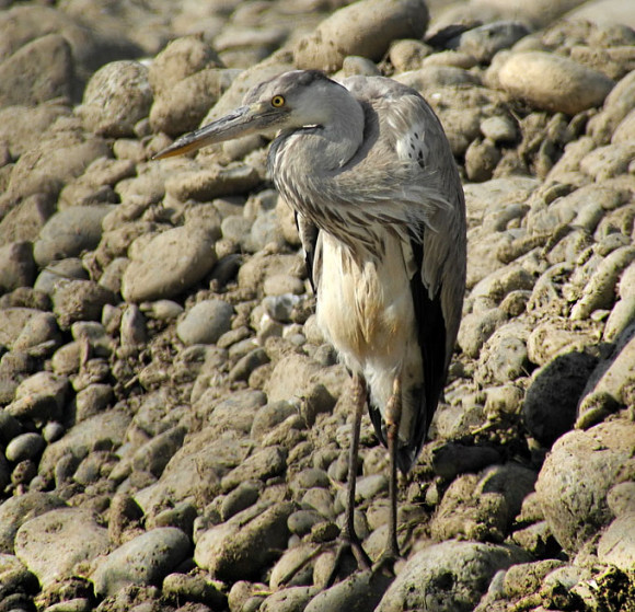 Grey-Heron_NM