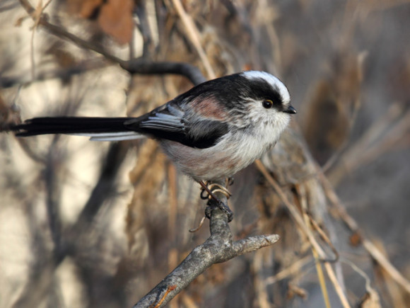 Long-tailed-Tit_RN