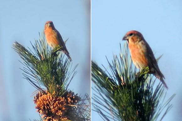 Red-Crossbill_NM-2