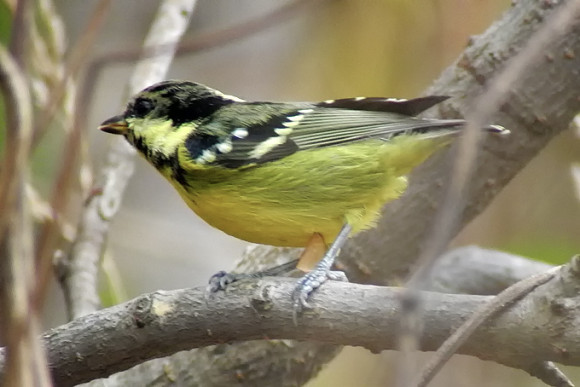 Yellow-bellied-Tit_NM