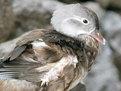 Mandarin-Duck-female