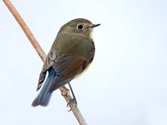 Red-flanked-Bluetail_RN