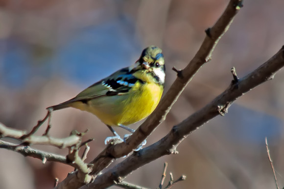 Yellow-bellied-Tit_MF-1