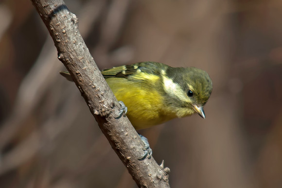 Yellow-bellied-Tit_MF-3