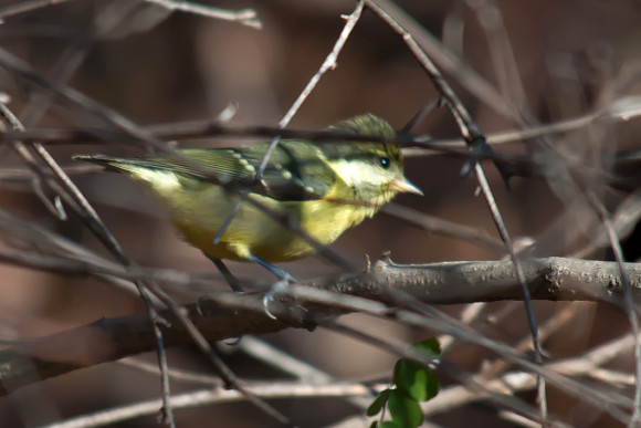 Yellow-bellied-Tit_MF-4