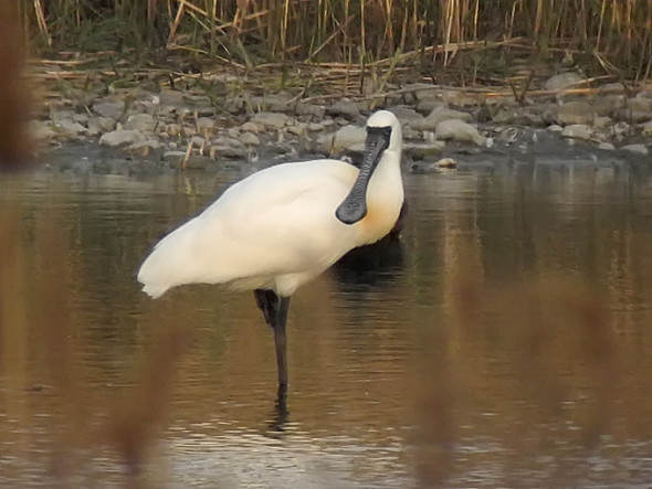 Black-faced-Spoonbill_NM