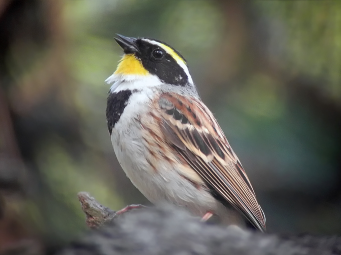 Yellow-throated-Bunting_NM