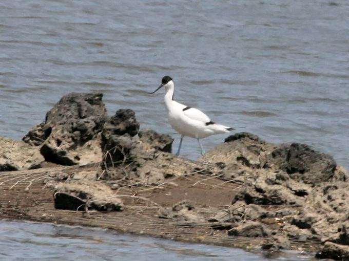 Pied-Avocet_MP
