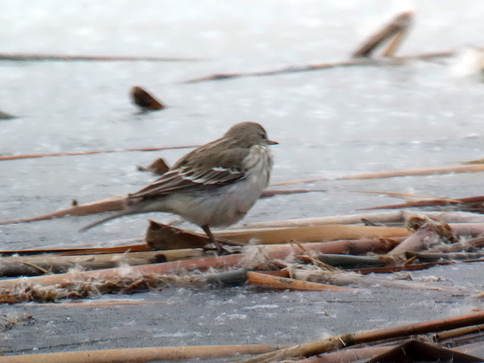 Water-Pipit_JPL-1