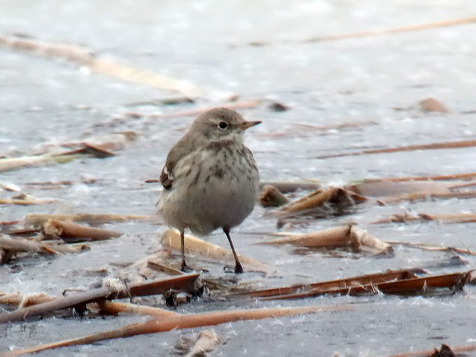 Water-Pipit_JPL-3