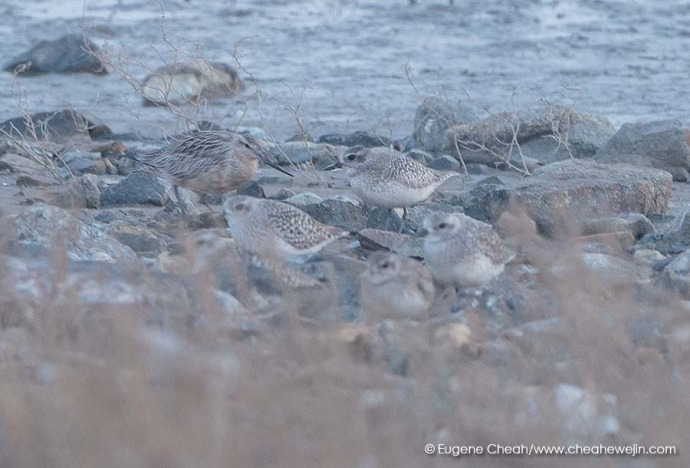 bar tailed godwit and grey plover