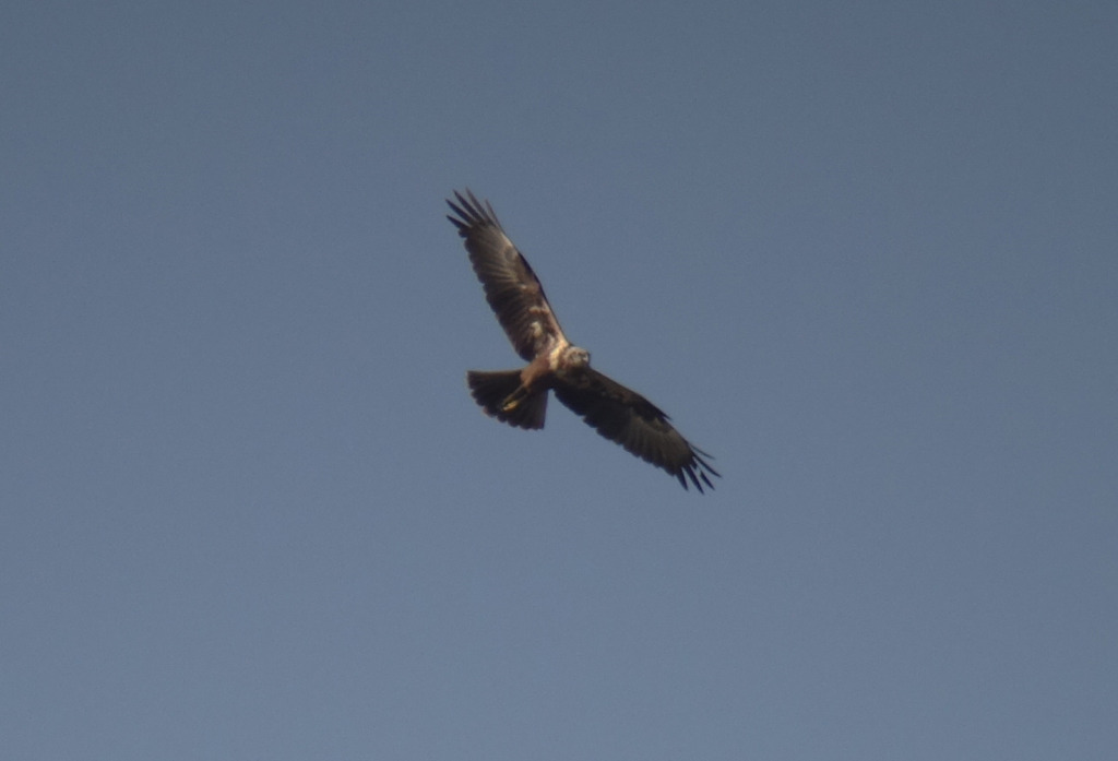 easternmarshharrier1_rs8