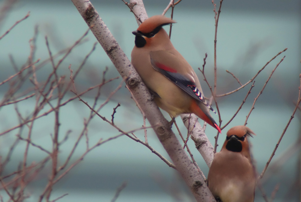japaneswaxwing_RS2