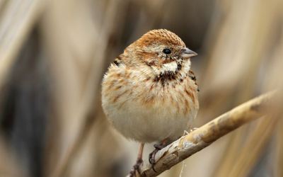 reed bunting AP9F9176