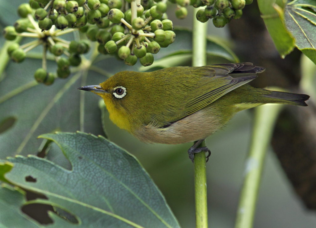 white-eye AP9F8678