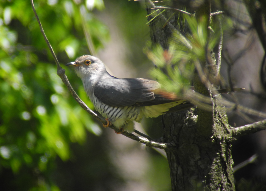 3_presBarkingCuckoo_May26_2014_RS1
