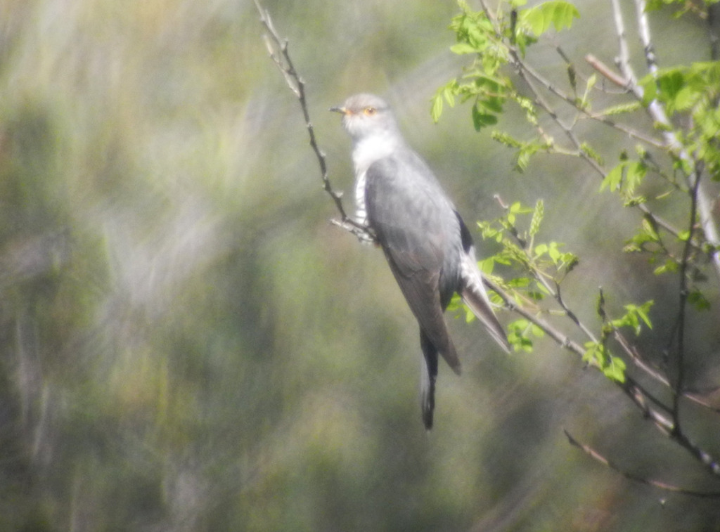 5-singingbarkingcuckoo_May28_2014_RS2_DSCN2174