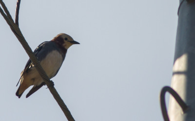 ChestnutCheekedStarling_2 (1 of 1)
