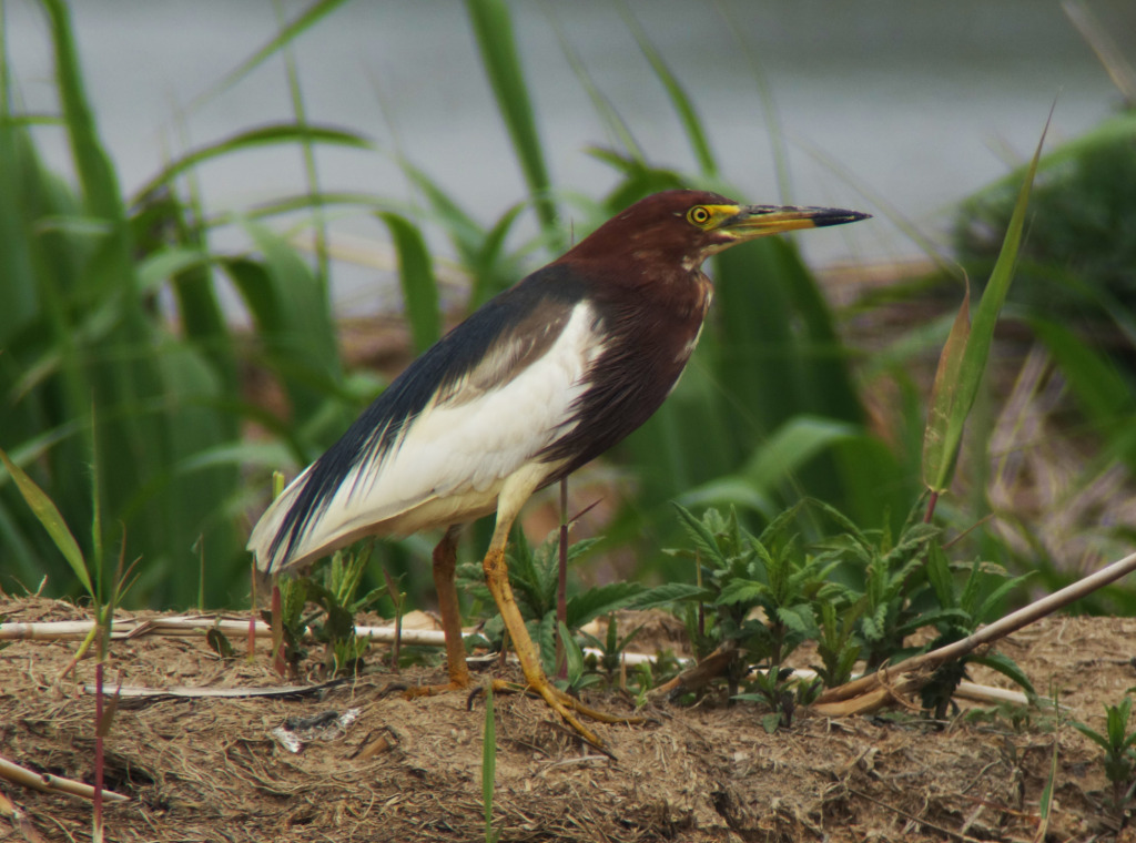 ChinesePondHeron_May15_RS1