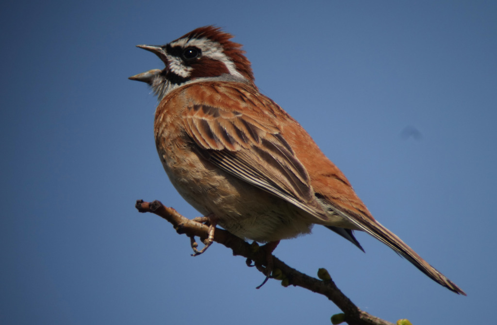 MeadowwBunting_May12_RS
