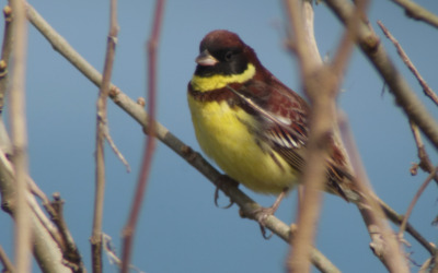 YellowbreastedBunting_nominatesubsp_May10_RS1