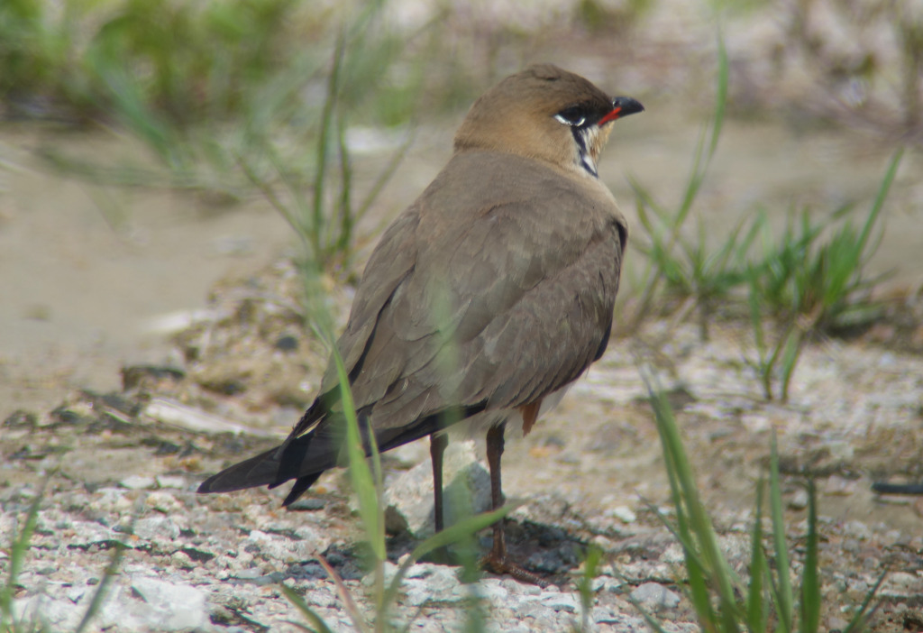 orientalpratincole_NM_RS